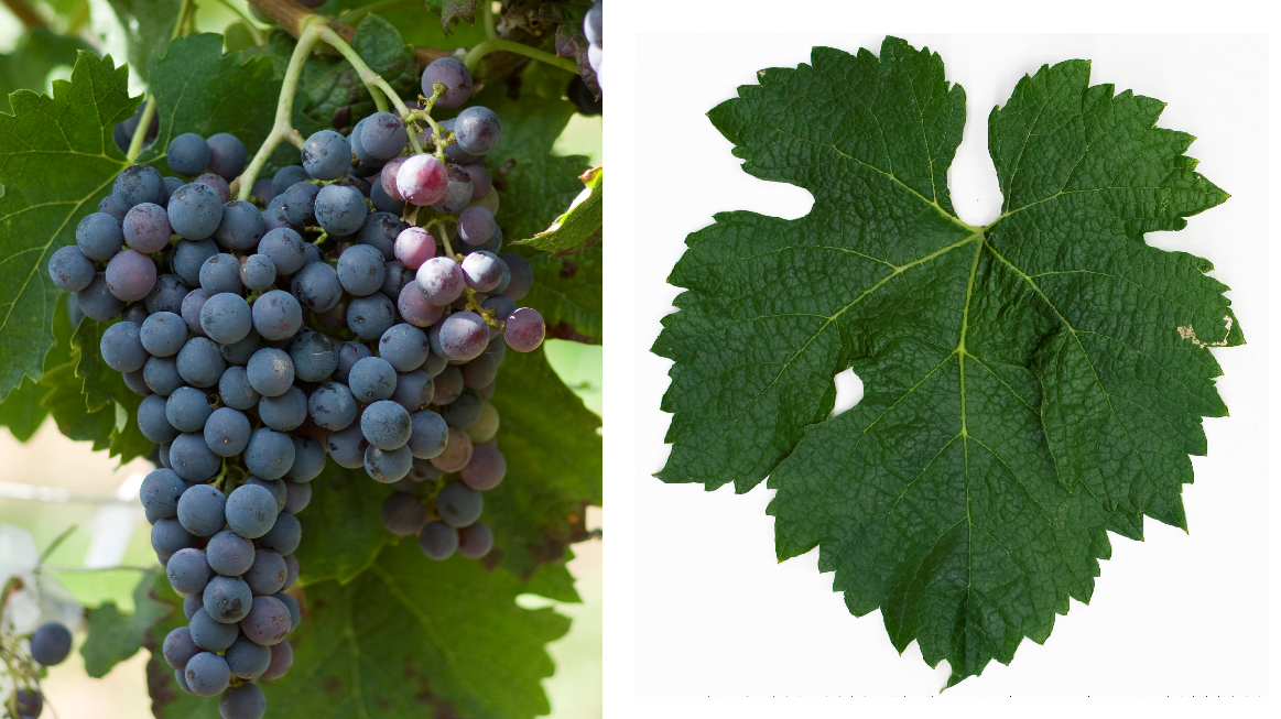 Merlot - grape and leaf
