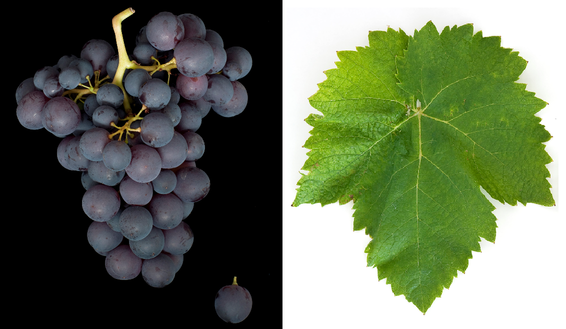 Xinomavro - grape and leaf