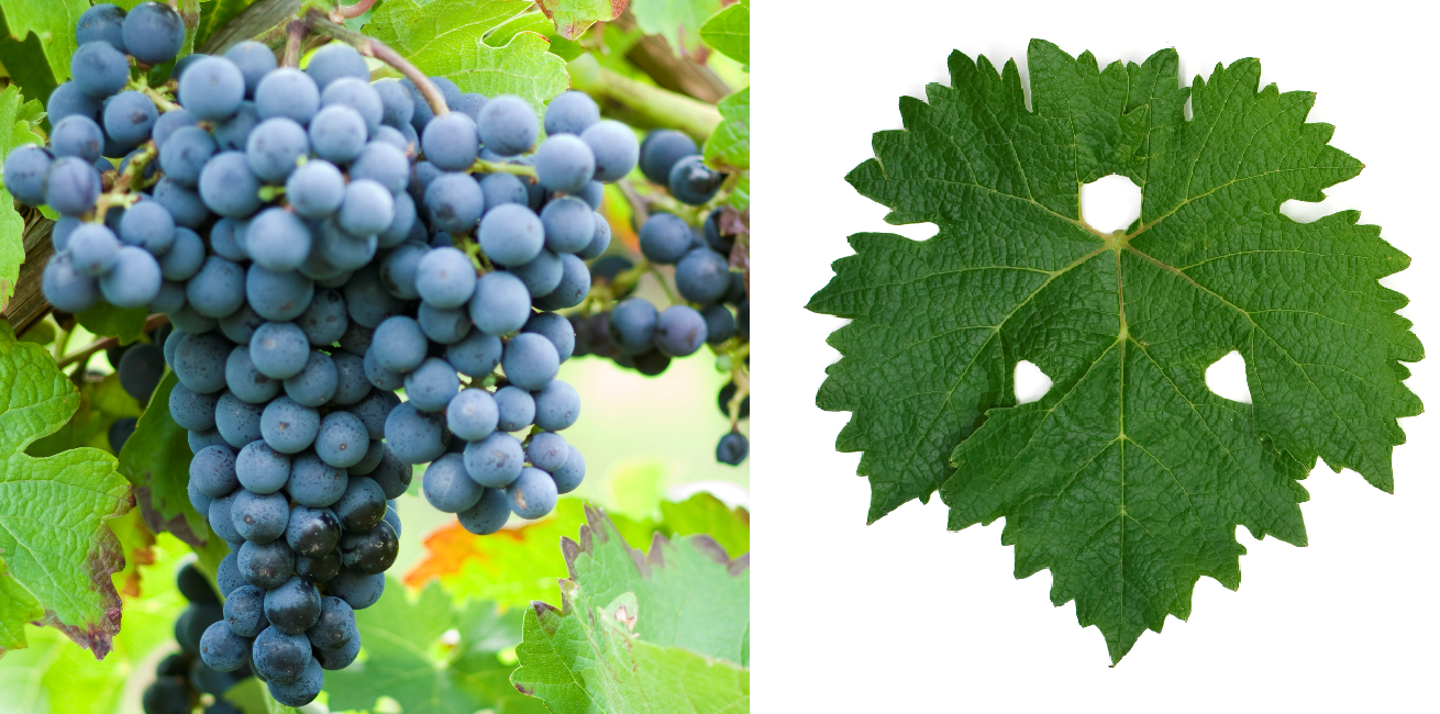 Cabernet Sauvignon - grape and leaf