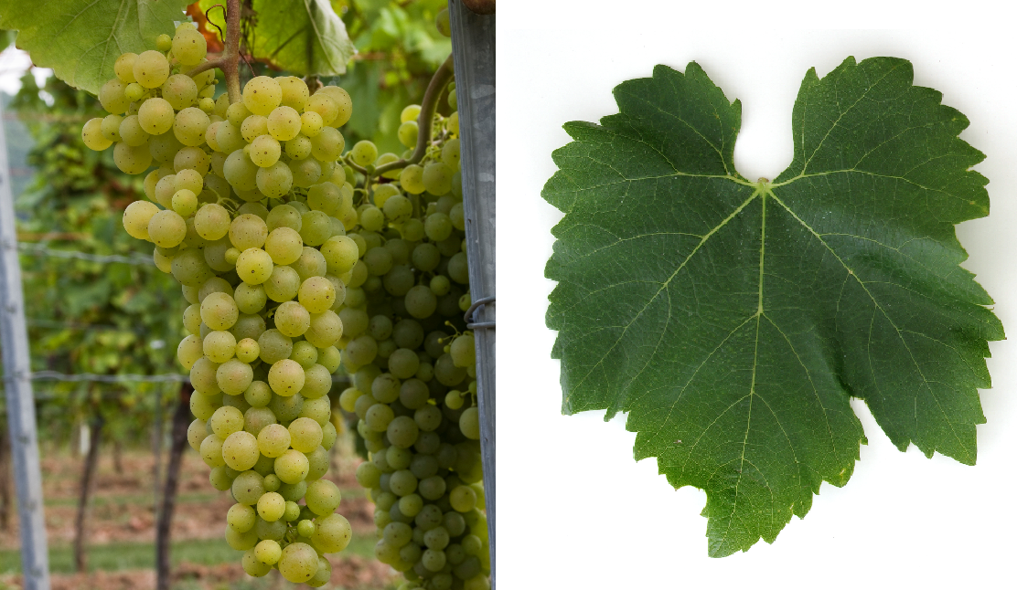Hárslevelü - grape and leaf