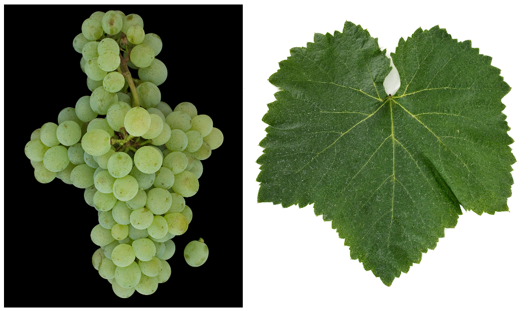 Fernão Pires - grape and leaf