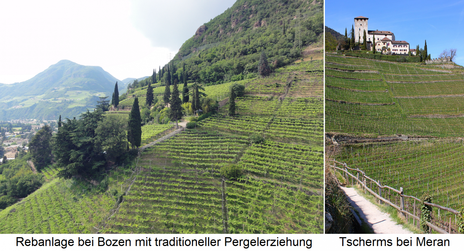 South Tyrol - vineyards near Bolzano in more traditional pergola education and Tscherms near Merano